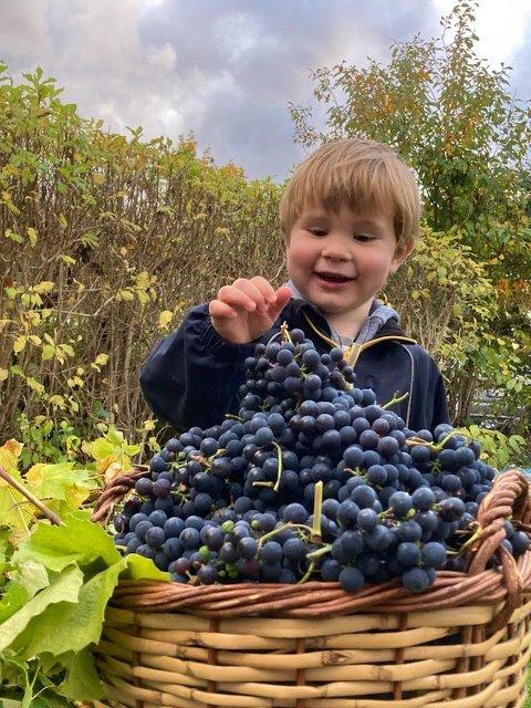Vetle (3) er fornøyd med årets høsting av druer i Postdamveien.