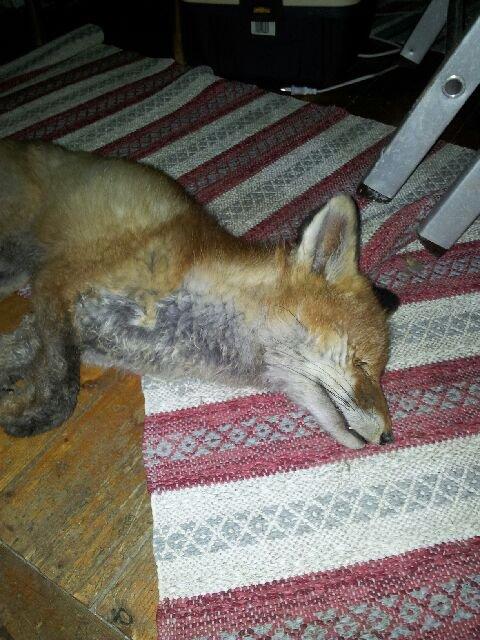 Denne reven fant Ilse Presteng på loftet da hun kom hjem fra en helgetur.