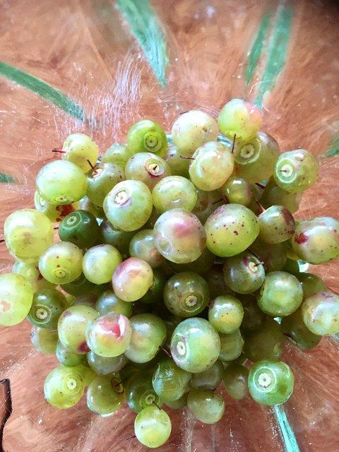 ALBINOBÆR: De aller fleste blåbær er blå. Noen er nesten hvite. Elin Margrethe Kristiansen fant albinoblåbær ved Håkøybotn på Kvaløya forrige helg.
