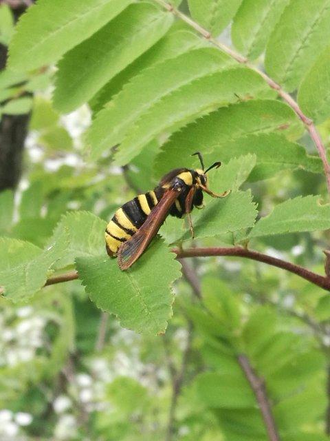 – Det vi hadde sett var ikke en veps. Det var faktisk en sommerfugl som heter Ospeglassvinge.