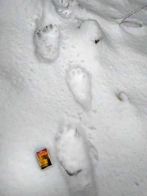 JERVESPOR: Jerven er en sålegjenger og har lett gjenkjennelige spor. Her er sporene etter jerven det nå jaktes etter på Totenåsen. Fotografert søndag 6 desember.
