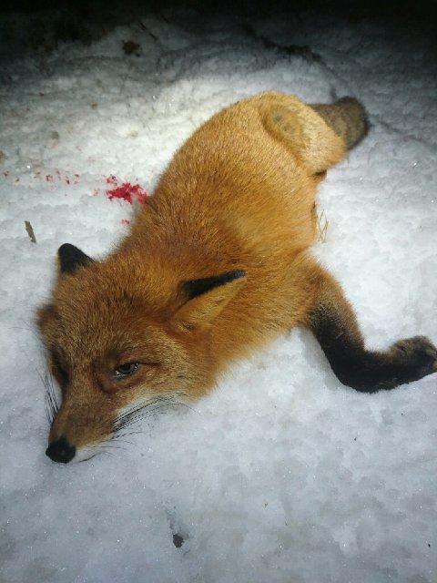 SMITTEBÆRER: Parasitten ble funnet i denne rødreven skutt på Fjell 29. februar.