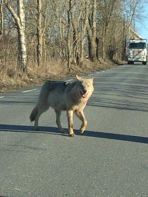 BLINKSKUDD: 10 år gamle Live Matre Isaksen tok dette blinkskuddet av ulv tirsdag morgen.