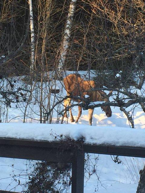 Elg på hagebesøk i Ås onsdag.