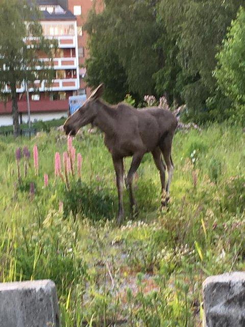 URBAN: Denne elgen er observert på tur i Ski sentrum flere ganger - sist gang i går, da den spankulerte i området rundt rådhuset.
