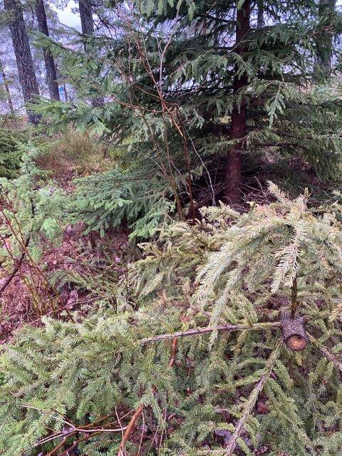 Noen har forsynt seg av et av grantrærne på hytteeiendommen til Bente Heuch i Son. Treet er felt ved roten, men så er toppen saget og tatt med, mens restene ligger igjen.