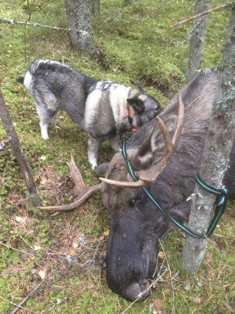 FULL KLAFF: Denne elgen ble felt på Tømmeråsen for noen år tilbake.