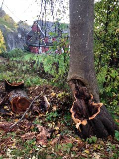 I GREVENS TID: Østlands-Postens innsender av dette bildet mener det var på høy tid at dette treet ble felt.