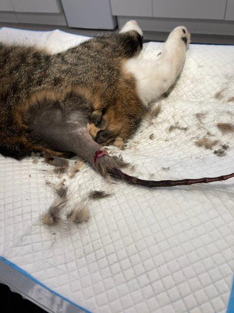 UFORKLARLIG: To katter har fått skrelt av pelsen på halen, hvordan det er er skjedd er foreløpig uforklarlig.