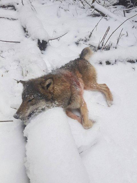 SKUTT I STANGE: Denne ulvetispa ble skutt i Stange tirsdag ettermiddag. (Foto: Jørgen Rustad)