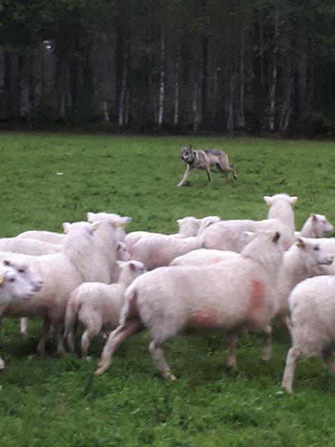 ULVEANGREP: Her angriper ulven sauene på Nordre Tannåneset i morgentimene mandag. Grunneier Bjørn Vidar Teppen har selv tatt bildet og opplyser at det viser det faktiske angrepet som fant sted mandag morgen. Foto: Bjørn Vidar Teppen