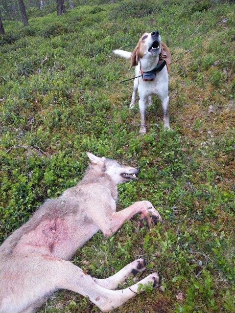 RASK FELLING: Mens de gikk en hel sommer og høst i 2018 før ulvetispa som herjet i Tynset ble felt, ble denne hannulven tatt av dage i juni, før den rakk å gjøre skade på beitedyra i Tynset. Nå har den fått et nummer, V836. Det ble brukt løs, på drevet halsende hund under fellingen. Foto: Skadefellingslaget