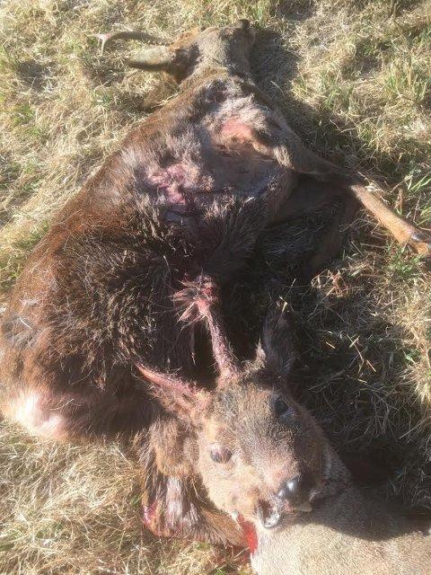HÅPLØST: Den nærmeste bukkens horn har satt seg fast i magen på den andre. Situasjonen ble håpløs for begge.