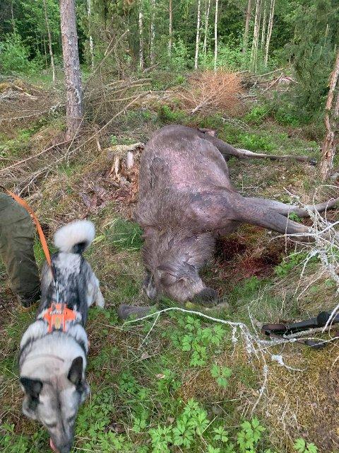 her ligger elgoksen under klessnora på tomta til Heidi Anita Sundsfjord Løken.