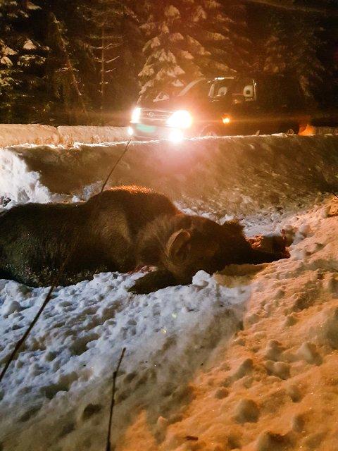 DØD: Elgen ble hardt skadet etter sammenstøtet med bilen, og sto dessverre ikke til å redde.