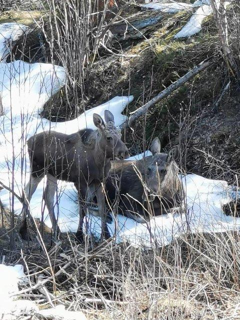 ELG PÅ PÅSKEFERIE: Elgkua og kalven hennes lot seg ikke forstyrre av nysgjerrige naboer i boligfeltet på Holter andre påskedag.