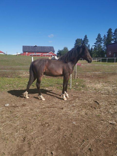 Hesten Elvis er på bedringens vei, men er fortsatt båndlagt i noen uker til. To andre hester som var på samme beite har også fått kverke.
