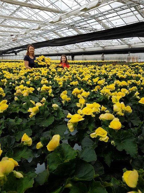 Tove Bøhnsdalen har jobbet i månedsvis for å få 20.000 gule begonia klare til påske. Nå som skolen er stengt hjelper datteren gjerne til. Nå frykter gartnerieieren at mange av blomstene må kastes. Foto: Privat