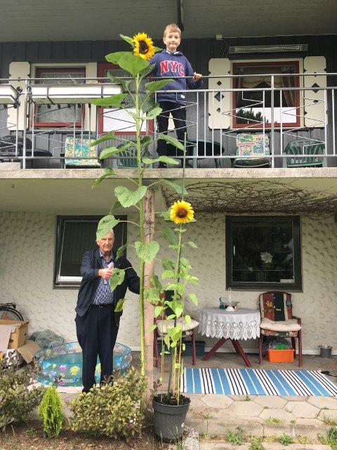 HØYEST: Filips solsikke ble høyest også i år.