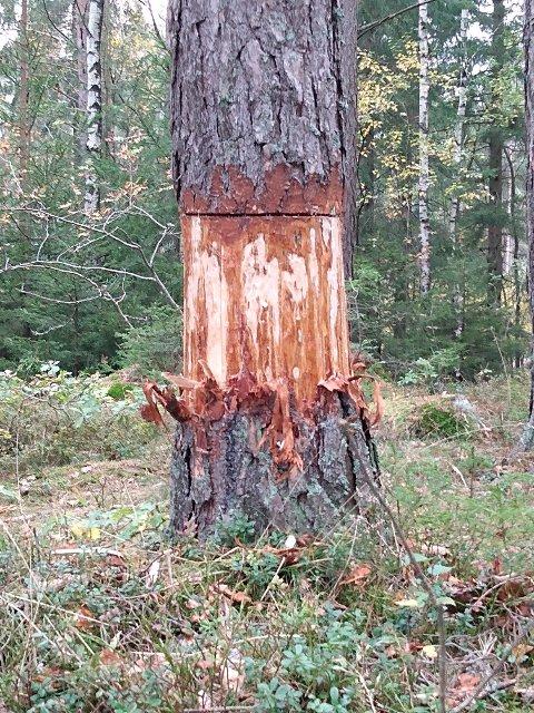 DØDT: Noen har skadet flere furutrær i Hafslundskogen.