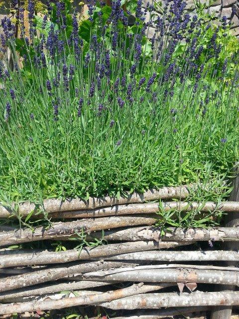Lavendel er noe av det som plantes på kjøkkenbenken i dag.