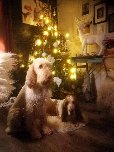 JULEKOS: Her koser hundene til veterinærassistent Elisabeth Aune Moseby, Nellie og Emma, seg foran juletreet.