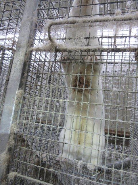 Pelsdyroppdrett: Mattilsynet avdekket 180 alvorlig skadde dyr  ved 10 tilsyn over to år.
