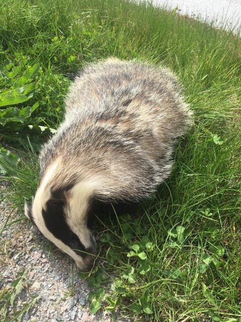 TRULEG PÅKØYRD: Roar Flatland tok bilete av grevlingen han oppdaga på Slinde/Lomelde. Dyret låg ved vegen og var truleg påkøyrt.