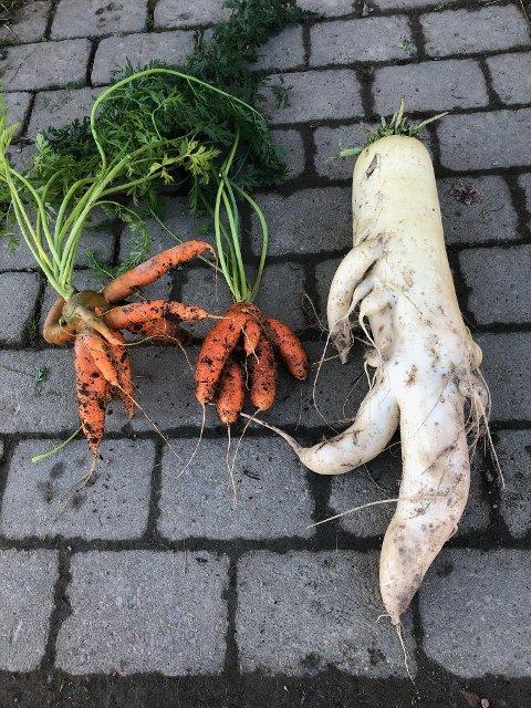 De to gulrøttene ser ut til å tilhøre blekksprutfamilien, og den forvokste japanske reddiken mistenker vi nesten forå kunne gå for egen maskin ....