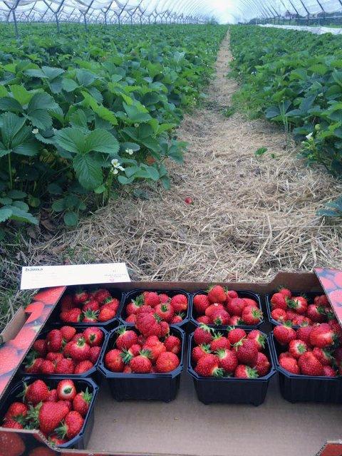 GOD START: De første jordbærene er plukket på Borgestad gård. Dette er bær som er dyrket under plast.