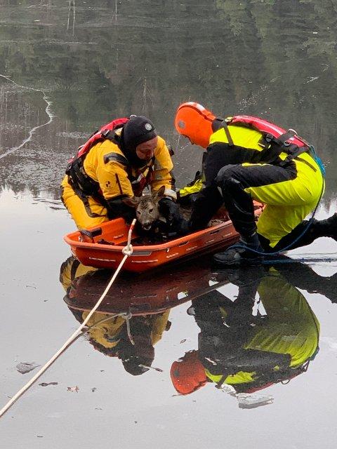 Mannskap fra Kragerø brannvesen har fått rådyret i sleden. Dessverre viste det seg at rådyret var hardt skadet.