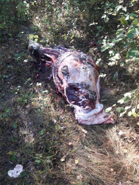 TYVEJAKT: Noen tok med seg lår, ytrefilet, bog og beina, men forlot resten av kjøttet og skinnet.