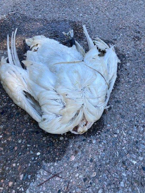 Svanen ble funnet ved brygga på Kjerringholmen.