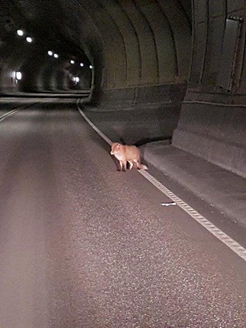 Luring: Thomas Aasen trodde først det var en katt som løp rundt i Atlanterhavstnunelen.