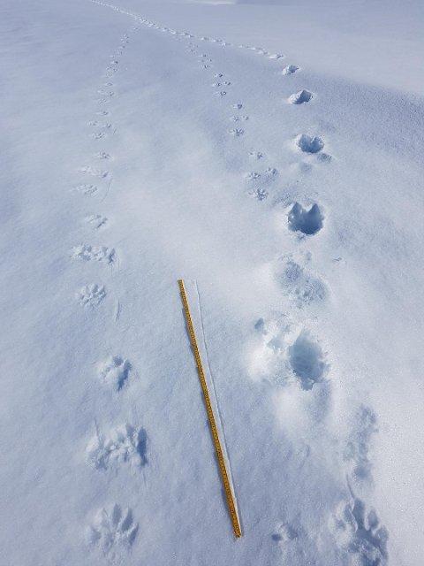 Bildet av sporene viser at tispa har brutt igjennom det øverste snølaget på grunn av tyngden, mens de små og mye lettere ungene har flytt oppå. Foto: Lars Olav Lund, Statens naturoppsyn