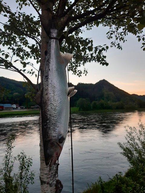 FANGST: Denne ruggen på ni kilo ble tatt av Frank Roger Sjøholt første natta med laksefiske i Surna.