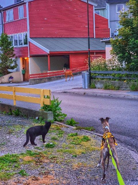 Det virket som møtet mellom de tre dyrene kom like overraskende på alle sammen. De ble stående og se på hverandre en god stund forteller Tor Aage Dyrseth Zdrinka.