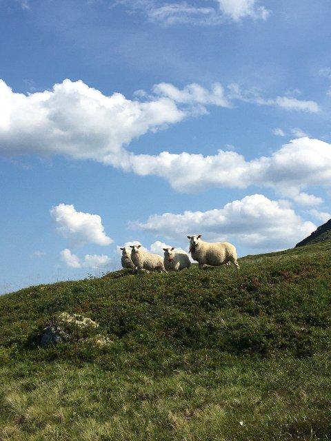 Sau på fjellbeite, med radiobjeller fra Gjeitegut. Dette bildet ble tatt mandag 26.07 av Marte Juklerød ute på tilsyn.