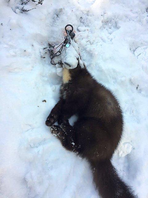 GIKK I FELLA: Gunn Heidi Vander Horst kom over denne drepte måren da hun var på luftetur med hunden.