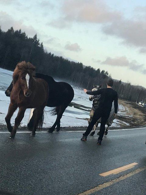 LØSE: Fire hester kom løpende alene langs Bispeveien onsdag ettermiddag, og flere bilister forsøkte å stoppe dem.