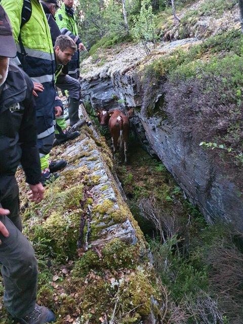 ETT HALVT TONN: Ei vanlig ku veier gjerne over ett lavt tonn. Brannvesenet og de andre hjelperne brukte god tid på å finne ut hvordan de skulle få den levende kua opp fra fjellsprekken.