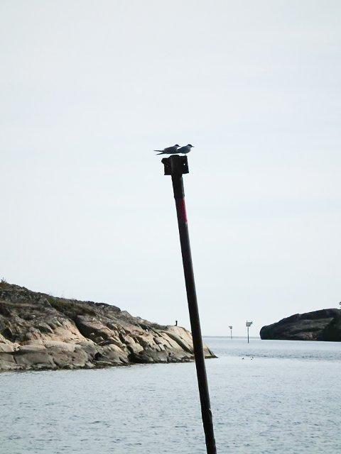 Beviset: To terner. Bildet ble tatt av Steinar Lund på Sandøya, lørdag ettermiddag.