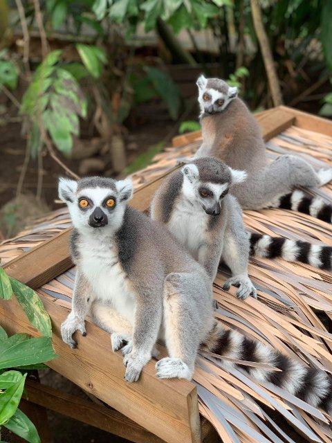 Rømlingene: Det er slike lemurer som er borte fra Den Lille Dyrehage.