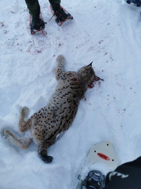 FELT I REINLI: Et gaupejaktlag i Sør-Aurdal felte denne unge kjetta på 15,7 kg i Reinli.