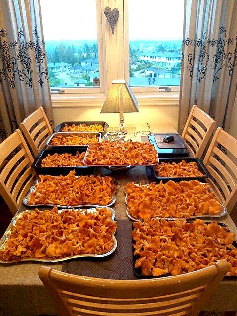 I BØTTER OG SPANN: Kjøkkenbordet til Lill Myrseth bugnet bokstavelig talt av kantarell etter helgas tur.