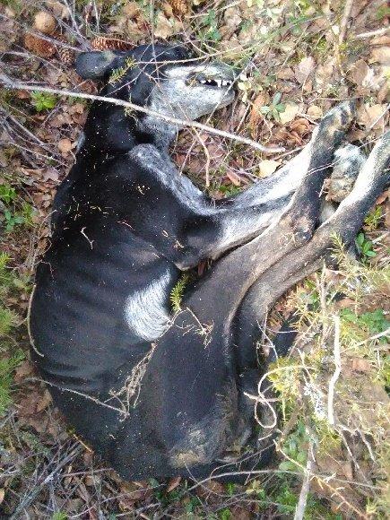AVMAGRET: Dette er en av de foreløpig siste hundene som er funnet.  Det skal være blant andre denne som er sendt til obduksjon.