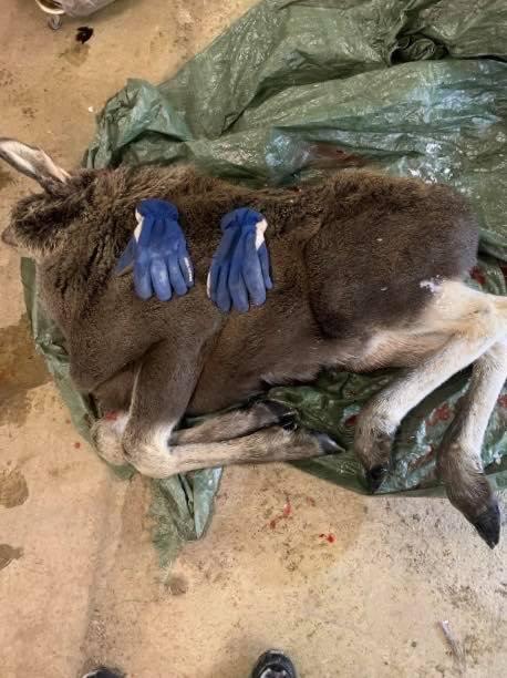 SKINN OG BEIN: Denne elgkalven ble avlivet fredag 14. februar på grunn av utmattelse. Kalven veide bare rundt 35 kilo, og hadde lagt seg ned for å dø.
