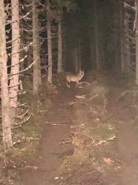 BRØTTUM-ULV: Anton Sveen fikk knipset dette bilde av ulven rett utenfor Brøttum tirsdag morgen.