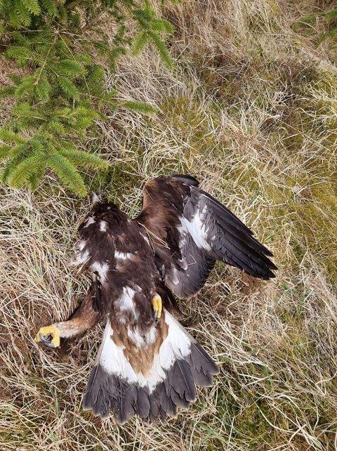 DØD: Denne kongeørnen ble funnet med avkappet vinge på Høg-Jæren.