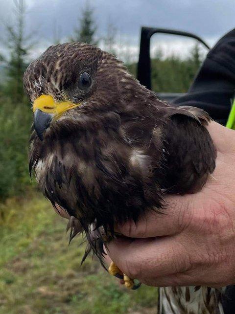 REDDET: Denne musvåken ble tatt med av en person som hadde peiling på fugler. Nå håper Malones at vedkommende gir en beskjed om hvordan det står til med fuglen
